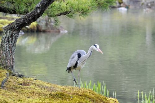 Kyoto_Kinkakuji Temple_Heron_April_2010