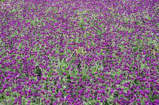 HCM_Flowers_02
