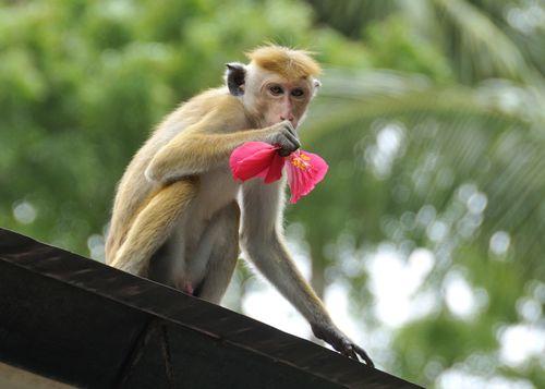 Toque Macaque_01