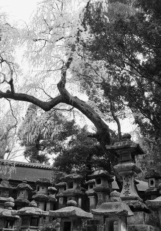 Nara-Sakura_BW_02