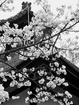 Nara-Sakura_BW